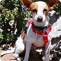 Adopt A Pet :: Tadpole - Gilbert, AZ