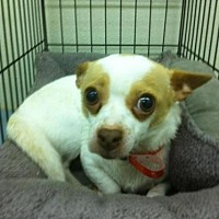 Chihuahua/Toy Fox Terrier Mix Dog for adoption in Fresno, California - Liberty