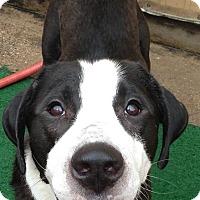 Adopt A Pet :: Bueller - Missouri City, TX