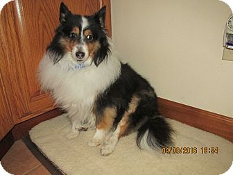 Sheltie, Shetland Sheepdog Dog for adoption in New Castle, Pennsylvania - Buddy (Adopted)