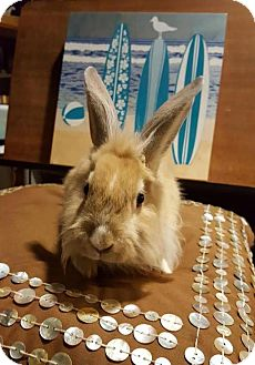 Lionhead Mix for adoption in Los Angeles, California - Bernie