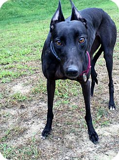 Greyhound Dog for adoption in Swanzey, New Hampshire - Skittles