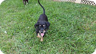 Dachshund/Terrier (Unknown Type, Small) Mix Puppy for adoption in Richmond, Virginia - Gordie