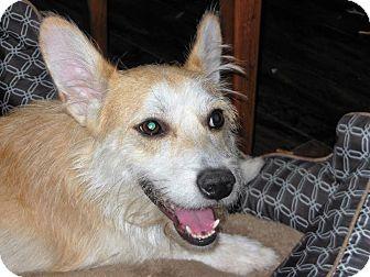 Norwich Terrier Mix Dog for adoption in New York, New York - Rafy aka Ralphie