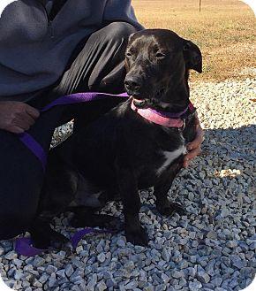 Labrador Retriever/Basset Hound Mix Dog for adoption in Beacon, New York - Mooney