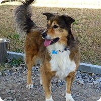 Sheltie, Shetland Sheepdog/Border Collie Mix Dog for adoption in Stephenville, Texas - Maria-New Photos 1/25/17