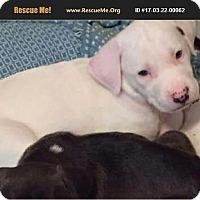 Adopt A Pet :: Ailbe - Bernardston, MA