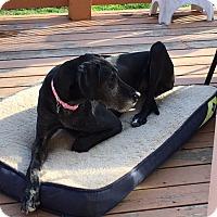 Adopt A Pet :: Roxie - Springfield, IL