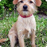 Adopt A Pet :: Cinch - Bridgeton, MO