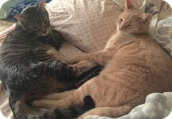 Domestic Shorthair Cat for adoption in New York, New York - Charlie and Chester