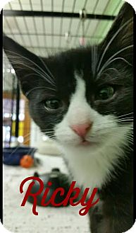 Domestic Shorthair Kitten for adoption in Bloomingdale, New Jersey - Ricky