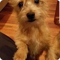 Adopt A Pet :: Clark-pending adoption - Manchester, CT