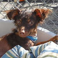 Adopt A Pet :: Vito - Carmel, NY