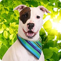Terrier (Unknown Type, Medium)/Bull Terrier Mix Dog for adoption in Chico, California - Shane