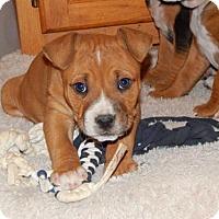 Adopt A Pet :: Pig-Pen - Fayette, MO