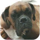Boxer Dog for adoption in Sunderland, Massachusetts - Tyson