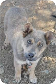 Husky Mix Puppy for adoption in dewey, Arizona - Natasha