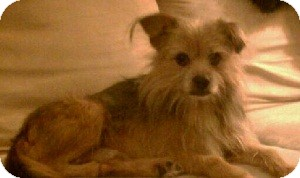 Yorkie, Yorkshire Terrier Mix Dog for adoption in North Wales, Pennsylvania - Oak