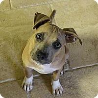 Adopt A Pet :: Enola - Mesa, AZ