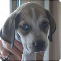 Adopt A Pet :: Bowser - Albany, NY