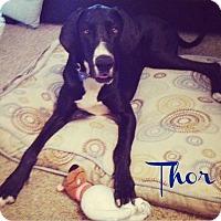 Adopt A Pet :: Thor - Mesa, AZ