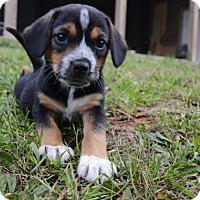 Adopt A Pet :: Duckie - Glastonbury, CT