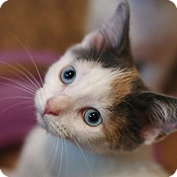 Adopt A Pet :: Faye -calico - McDonough, GA