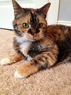Domestic Shorthair Cat for adoption in Centerville, Georgia - Flame