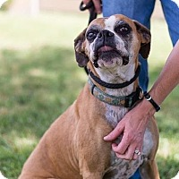 Boxer Dog for adoption in Lynnwood, Washington - Jasmine (Cross Post)