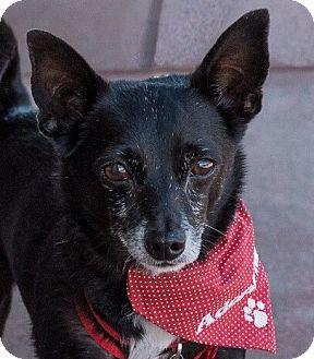 Chihuahua/Italian Greyhound Mix Dog for adoption in San Marcos, California - Sebastian