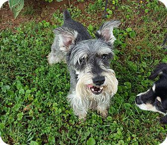 Schnauzer (Miniature) Dog for adoption in Washington, D.C. - Jager