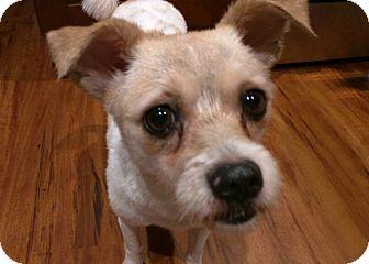 Irish Terrier/Terrier (Unknown Type, Small) Mix Dog for adoption in Lisle, Illinois - Precious