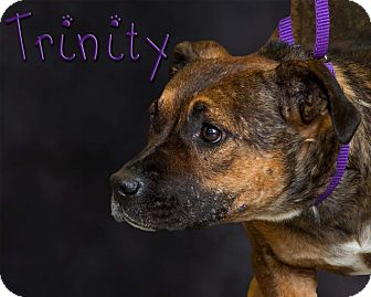 Pit Bull Terrier Dog for adoption in Somerset, Pennsylvania - Trinity