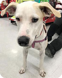 Labrador Retriever/Terrier (Unknown Type, Medium) Mix Dog for adoption in Sterling Heights, Michigan - Rosita