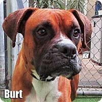 Adopt A Pet :: Burt - Encino, CA
