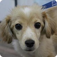 Adopt A Pet :: Bradley - Harrisonburg, VA