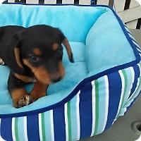 Adopt A Pet :: Jill - Rochester, NH