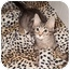 Photo 1 - Maine Coon Kitten for adoption in Cocoa, Florida - MIKEY