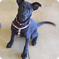 Adopt A Pet :: Chester - Wickenburg, AZ