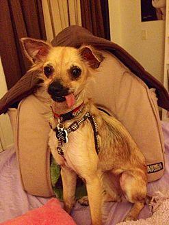 Sheltie, Shetland Sheepdog/Chihuahua Mix Dog for adoption in Santa Ana, California - Abby