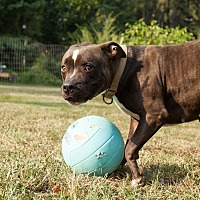 Adopt A Pet :: Candy - Midlothian, VA