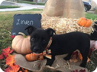 Border Collie/American Staffordshire Terrier Mix Puppy for adoption in Tracy, California - Linden