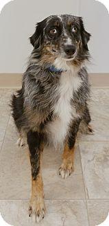 Australian Shepherd Mix Dog for adoption in Urbana, Ohio - Charlotte