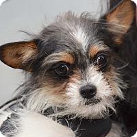 Adopt A Pet :: Prince - New York, NY