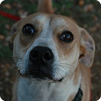 Labrador Retriever/Greyhound Mix Puppy for adoption in Attalla, Alabama - Gus