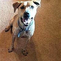 Adopt A Pet :: Bear Phillips - Brattleboro, VT