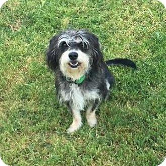 Standard Schnauzer/Terrier (Unknown Type, Medium) Mix Dog for adoption in Sacramento, California - Chuck