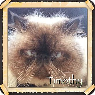 Himalayan Cat for adoption in Beverly Hills, California - Timothy