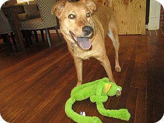 Belgian Malinois Mix Dog for adoption in Alexandria, Virginia - Lucy Lu
