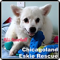 Adopt A Pet :: Snowball - Elmhurst, IL